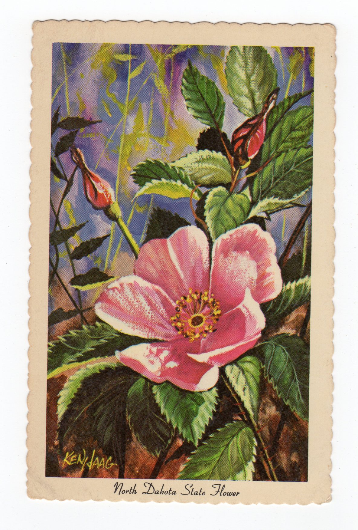 Postcard North Dakota State Flower The Wild Prairie Rose 1966